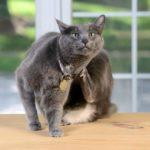 Болячки у кошки на шее: описание, возможные причины и способы лечения