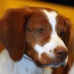 Эпаньоль бретон: описание, характер, фото. Охотничьи собаки