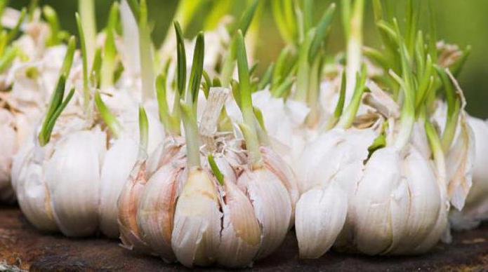 Как садить бульбочки чеснока?
