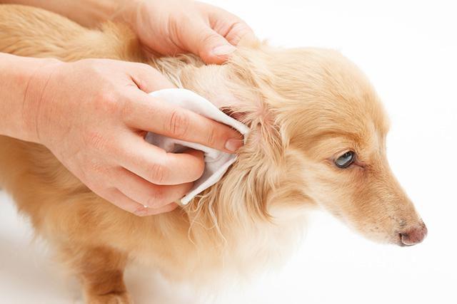 Неприятный запах из ушей у собак: причины, лечение. Как почистить уши собаке в домашних условиях