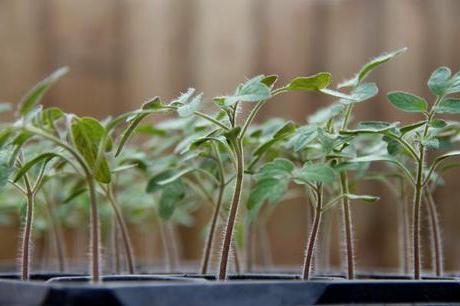 Описание и особенности выращивания томатов Багира