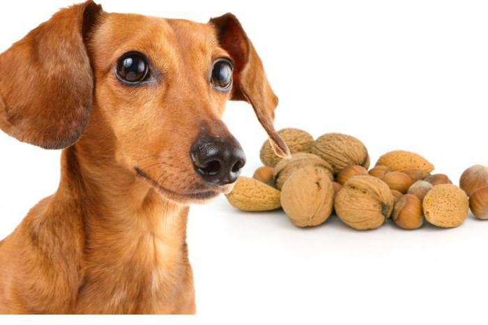 Почему собакам нельзя сладкое? Как правильно кормить собак
