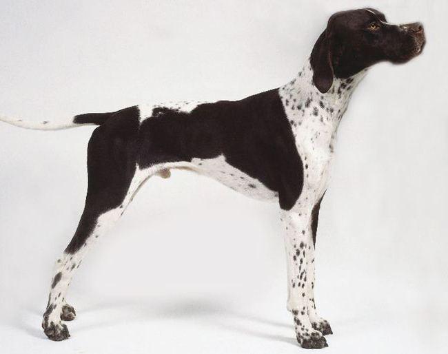 Пойнтер (порода собак): описание, стандарт породы, характер, фото и отзывы собаководов