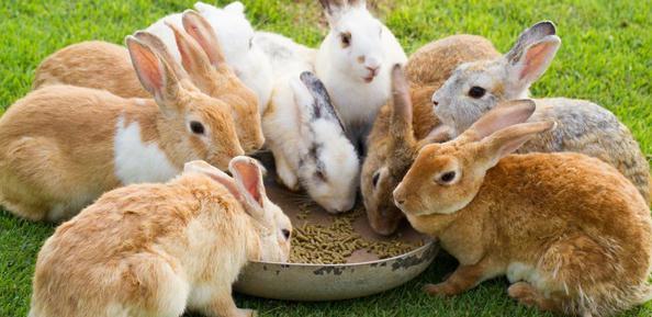Трава для кроликов. Какую траву едят кролики? Какую траву нельзя давать кроликам?