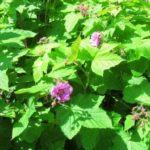 Малина душистая: описание сорта, выращивание, размножение