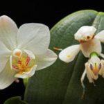Богомол орхидейный - насекомое, похожее на цветок