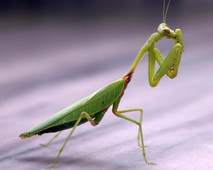 Самая интересная информация про насекомое богомол