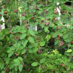 Ягода Карина: полезные и вредные свойства