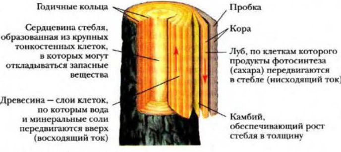Каково строение стебля дерева или кустарника
