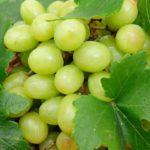 Хорошие сорта винограда: отзывы, описание