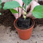Как пасынковать баклажаны в открытом грунте и теплице?