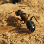 Красные муравьи: как победить вредителей?