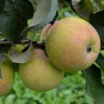 Мартовская яблоня: описание, урожайность, отзывы
