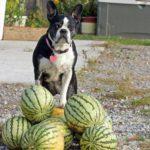 Можно ли давать арбуз собаке? Какие фрукты и ягоды можно собакам