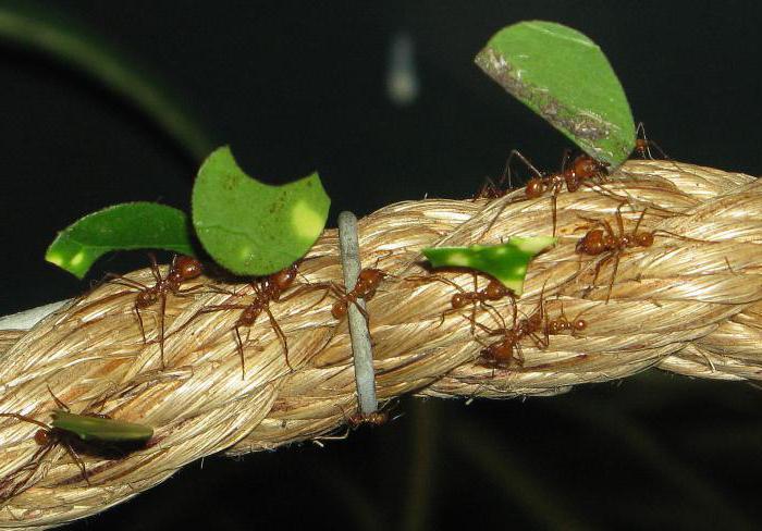 Муравей-листорез: подробное описание, фото, образ жизни