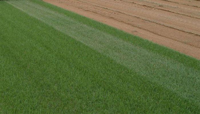 Мятлик луговой как газонная трава: отзывы, плюсы и минусы, посадка, уход