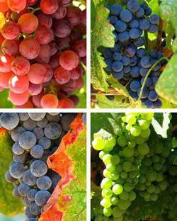 Наилучшие сорта винограда. 10 лучших сортов винограда (фото)
