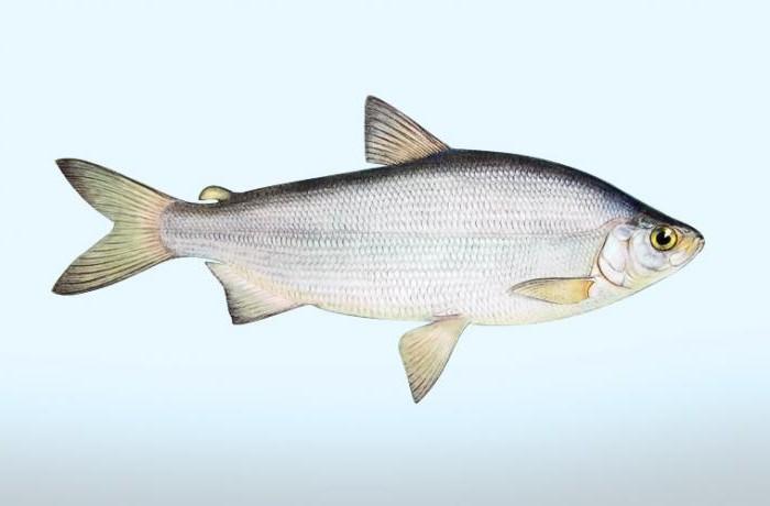 Рыба пелядь где водится в России? - Новости, статьи и обзоры