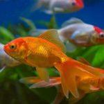 Сердечно-сосудистая системы рыб: сколько камер сердца у рыб