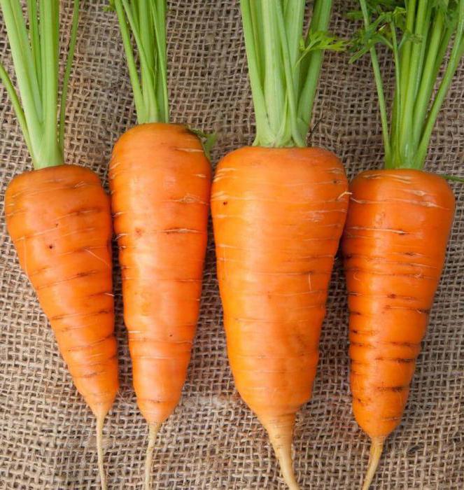 Сроки уборки моркови: советы огородникам
