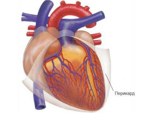 Строение и топография сердца. Границы сердца. Анатомия