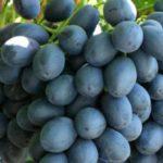 Виноград Атос: описание сорта и фото
