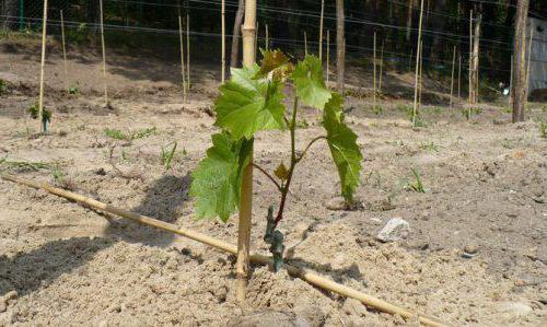 Виноград Элегант: описание сорта, характеристики, особенности выращивания. Как сажать виноград весной