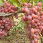 Виноград Гелиос: описание, посадка, выращивание, отзывы