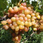 Виноград Хамелеон: описание сорта, фото