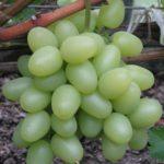 Виноград Надежда Аксайская: описание, особенности, уход и отзывы