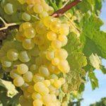 Виноград Супага: фото и описание сорта