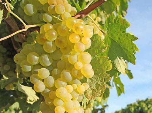 Виноград супага описание сорта основные характеристики