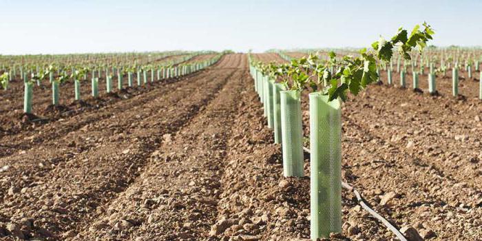 Когда весной можно сажать виноград 48