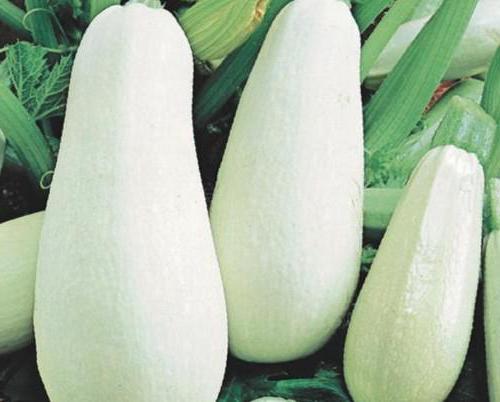 Выращиваем кабачок. Белоплодные кабачки - описание сорта, выращивание, отзывы