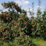 Яблоня Веньяминовское: описание сорта, фото, отзывы