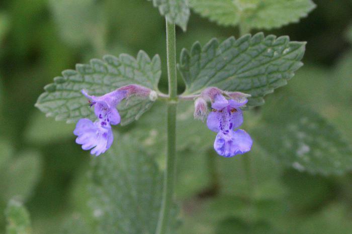 12 растений, которые отпугивают комаров