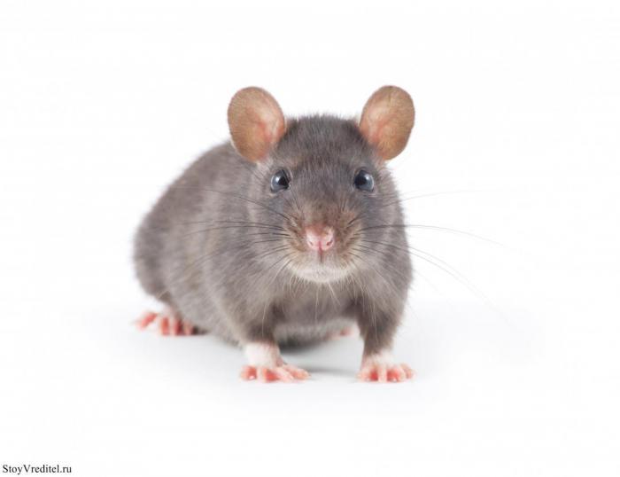 Действительно ли крысу можно приручить?