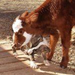 Эта очаровательная мини-корова уверена, что она собака