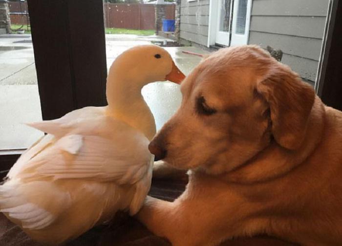 Не разлей вода: удивительная дружба собаки и утки