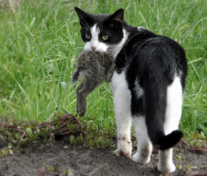 Почему кошки приносят домой убитых животных