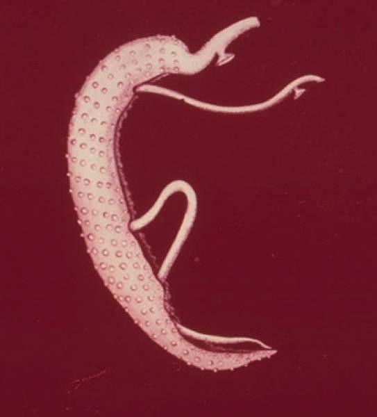 Дыхание плоских червей. Как осуществляется дыхание плоских червей?