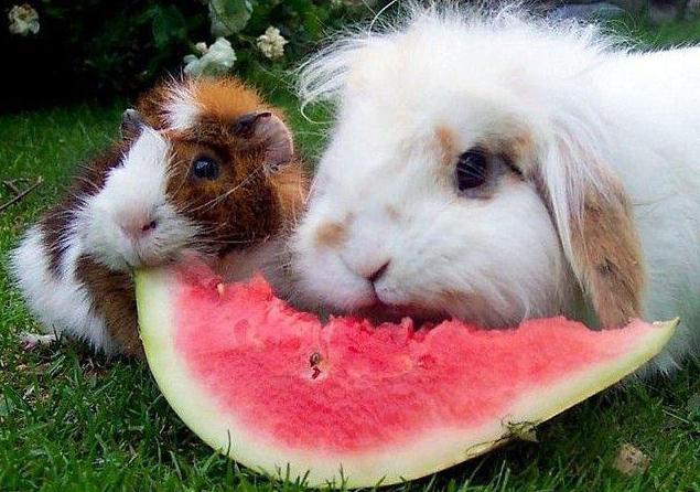 Можно ли кролику арбуз? Советы ветеринара