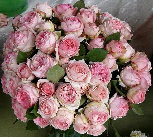 Роза Фёрст Леди: описание, фото. Как вырастить Фёрст Леди в своем саду