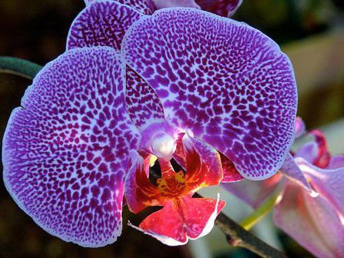 У орхидеи вялые листья: что делать, в чем причина?