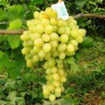 Виноград Аркадия: описание сорта, фото, отзывы о культуре