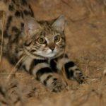 17 самых редких кошек со всего мира, о которых вы не слышали раньше