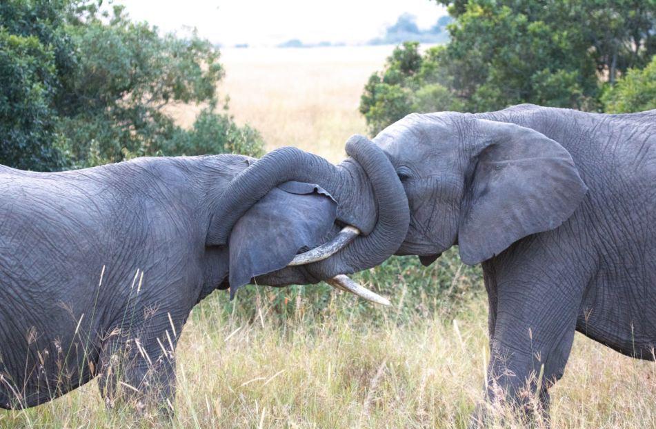 Ласки у слонов