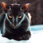 Ориентальная порода кошек: описание с фото, особенности характера, разведение и правила ухода
