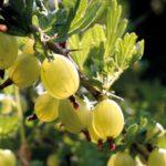 Крыжовник куршу дзинтарс: особенности растения и правила обрезки