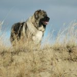 Порода собак кавказец: описание, характер, стандарты, фото